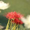 Photos: 紅白3