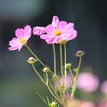 ピンクのコスモス2