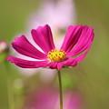 濃いピンクのコスモス1
