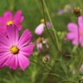 Photos: 濃いピンクのコスモス2
