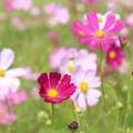 濃いピンクのコスモス3