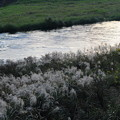 川原のススキ