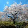 Photos: 垂れ桜