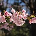 Photos: 寒桜
