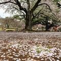Photos: 桜じゅうたん