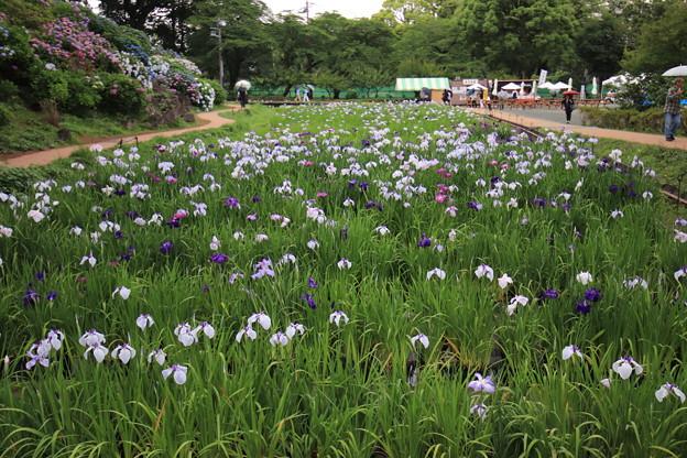 Photos: 小田原菖蒲園