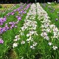 Photos: 咲き競う