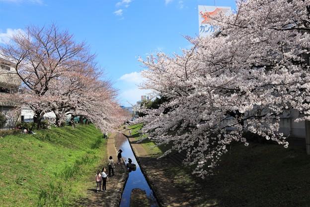 Photos: 桜川