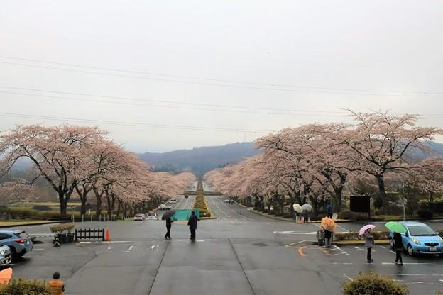 Photos: 雨上がりの桜