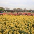 Photos: 菜の花とチューリップ