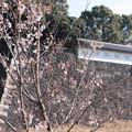 皇居の冬桜
