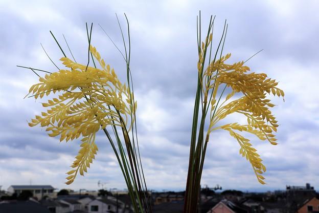 Photos: 稲