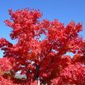 秋晴れに真紅