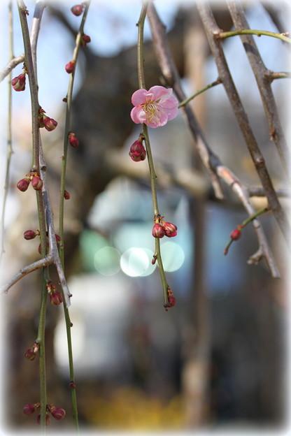 一番咲き。