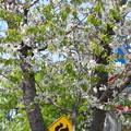 サクランボの花とエゾリス^^