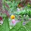 Photos: 枝垂れ紅葉とコゴミの間には...