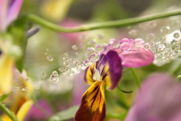 重い水滴(>_<)の顔のビオラさん