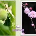 Photos: 花桃、花&実