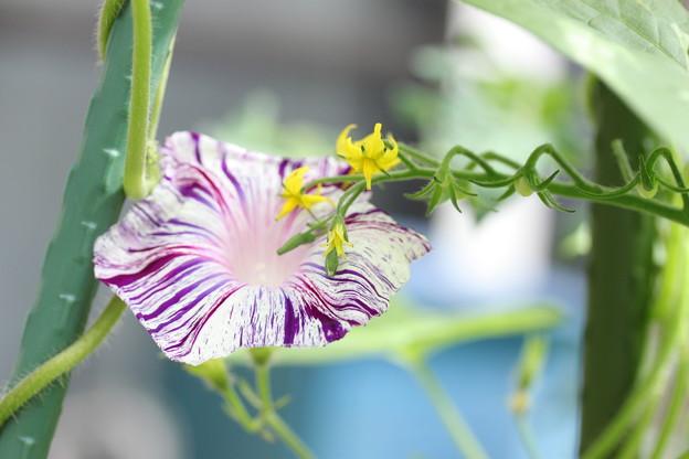 アサガオに絡むトマトの花