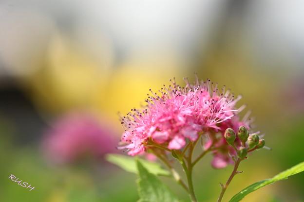 Photos: 二度咲のシモツケ