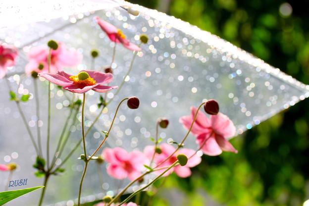 雨傘とシュウメイ菊 004