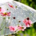 Photos: 雨傘とシュウメイ菊 004