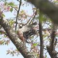 葉桜オオアカゲラ