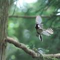 シジュウカラ飛翔
