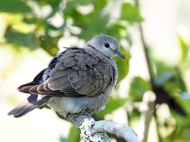超珍鳥ベニバト