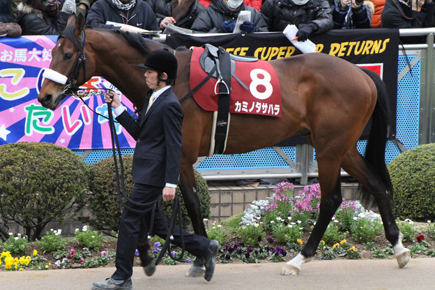 Photos: カミノタサハラ パドック(13/03/03・第50回 報知杯弥生賞)