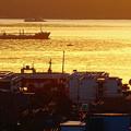 錦江湾(4)-黄金色に染まる