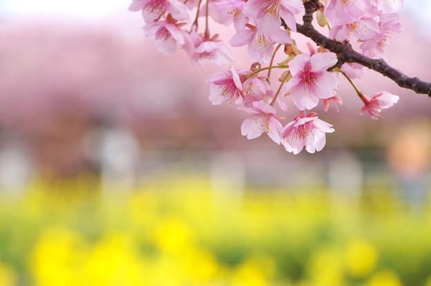 春色コラボ