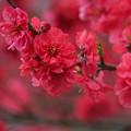 真っ赤な花桃