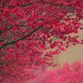 赤い花桃並木