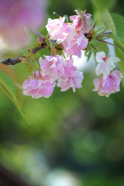 バラのように咲く