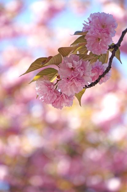 ぽんぽん飾りみたいな桜