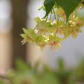 新緑色の桜