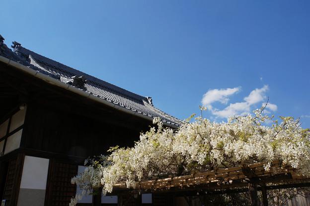 白藤の咲く寺