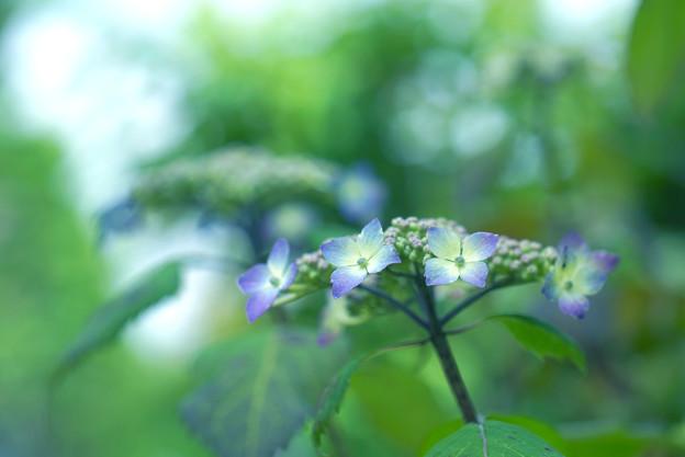 紫陽花咲く