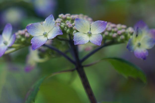 路地の紫陽花