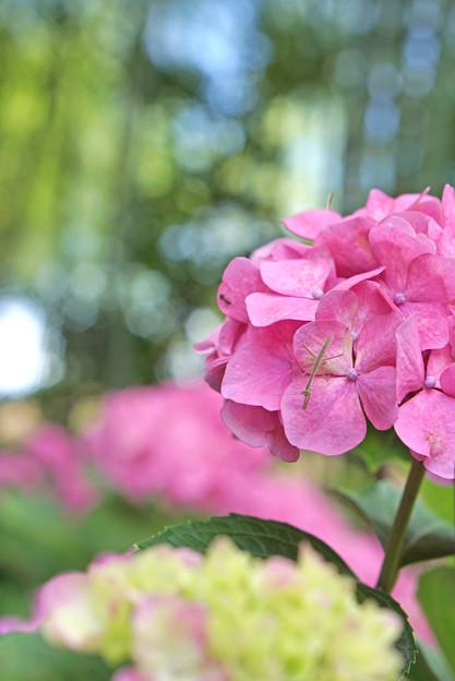 蟷螂の紫陽花