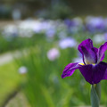 Photos: 濃い紫