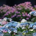 Photos: 紫陽花もりもり