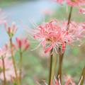 Photos: 淡色の彼岸花