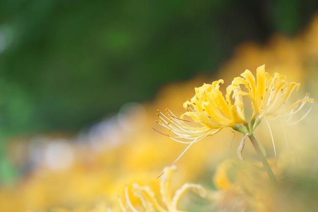 黄色い彼岸花