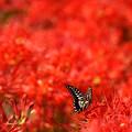 蝶を追いかけて