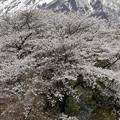 桜と双耳峰