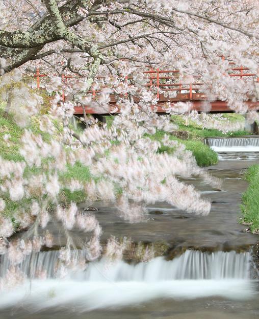 桜ゆらす川風