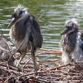 Photos: アオサギ幼鳥