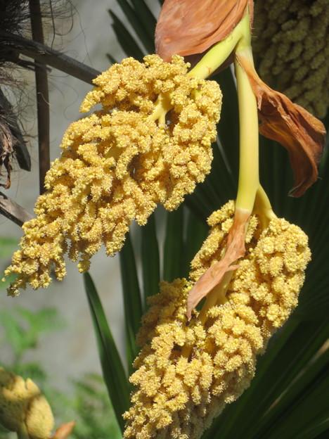 シュロの花